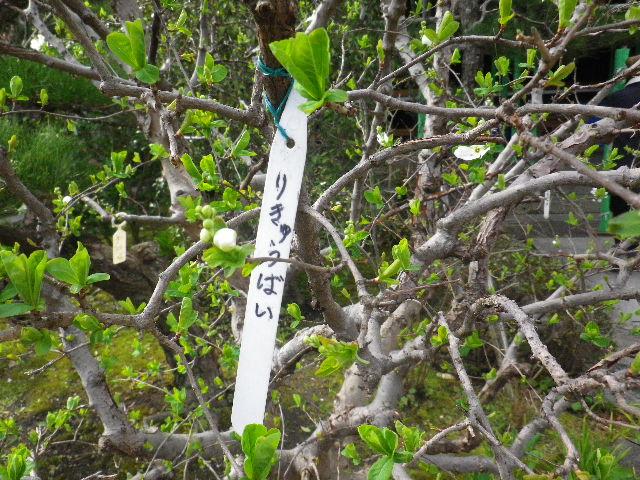 04-1) 利休梅/りきゅうばい  _ 16.03.12 鎌倉「大巧寺」種類豊富な椿が咲き揃い始める頃