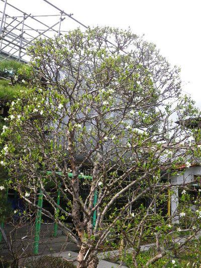 04-2) 利休梅/りきゅうばい  _ 16.03.12 鎌倉「大巧寺」種類豊富な椿が咲き揃い始める頃