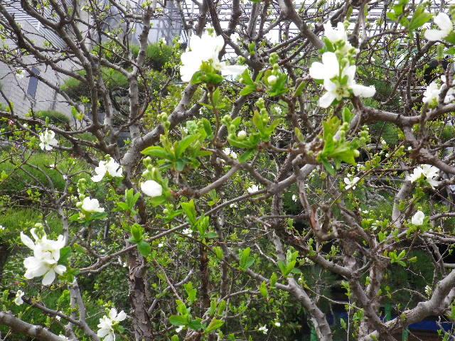 04-3) 利休梅/りきゅうばい  _ 16.03.12 鎌倉「大巧寺」種類豊富な椿が咲き揃い始める頃