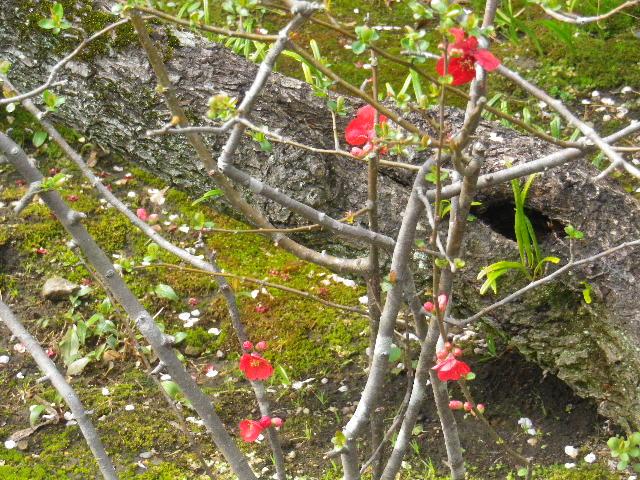 05-2)  _ 16.03.12 鎌倉「大巧寺」種類豊富な椿が咲き揃い始める頃