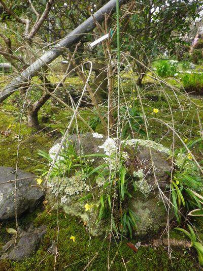 07-2) 黄梅  _ 16.03.12 鎌倉「大巧寺」種類豊富な椿が咲き揃い始める頃