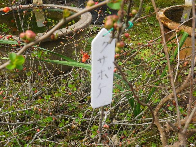08-1) クサボケ  _ 16.03.12 鎌倉「大巧寺」種類豊富な椿が咲き揃い始める頃