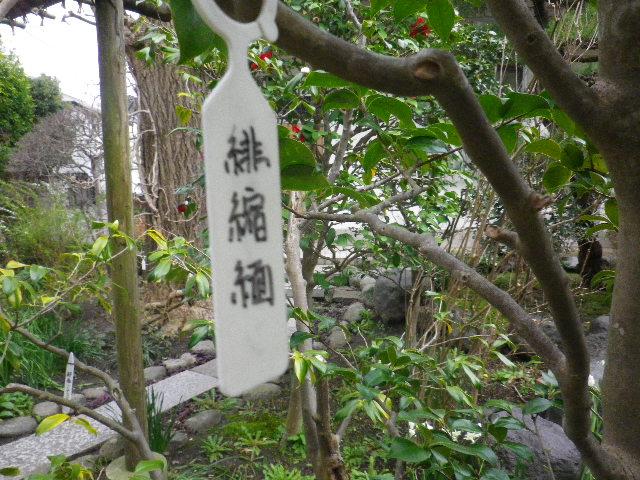 11-1) 緋縮緬  _ 16.03.12 鎌倉「大巧寺」種類豊富な椿が咲き揃い始める頃