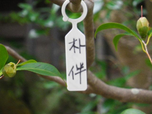 13-1) 朴伴  _ 16.03.12 鎌倉「大巧寺」種類豊富な椿が咲き揃い始める頃