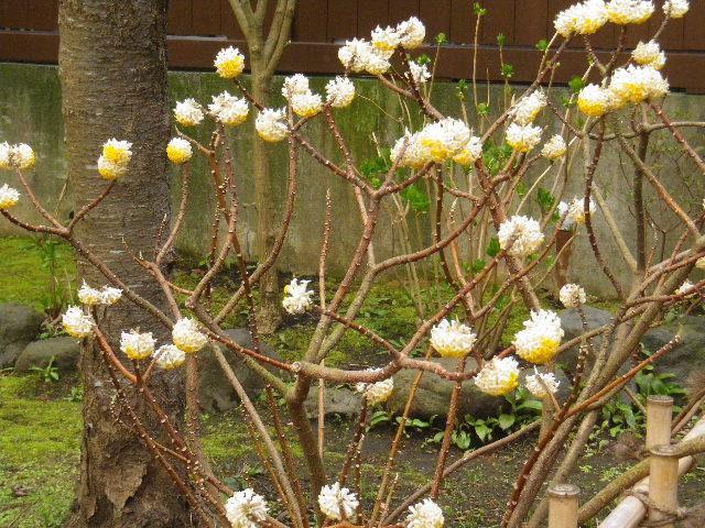 16) ミツマタ  _ 16.03.12 鎌倉「大巧寺」種類豊富な椿が咲き揃い始める頃