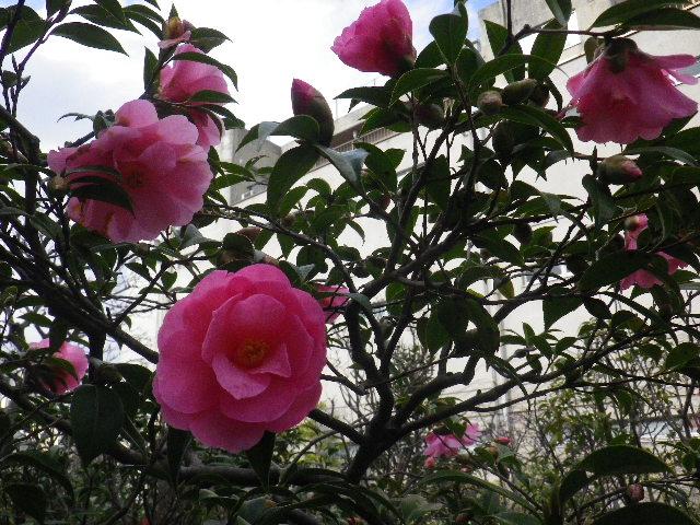 17-3) スタイニープリンセス  _ 16.03.12 鎌倉「大巧寺」種類豊富な椿が咲き揃い始める頃
