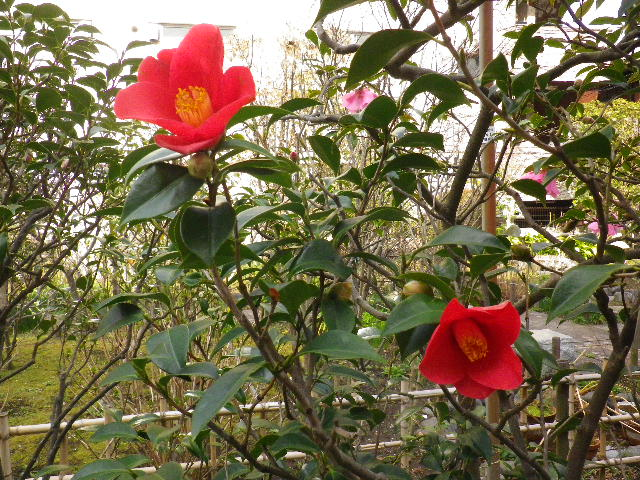 18-2) 銀閣寺やぶ  _ 16.03.12 鎌倉「大巧寺」種類豊富な椿が咲き揃い始める頃
