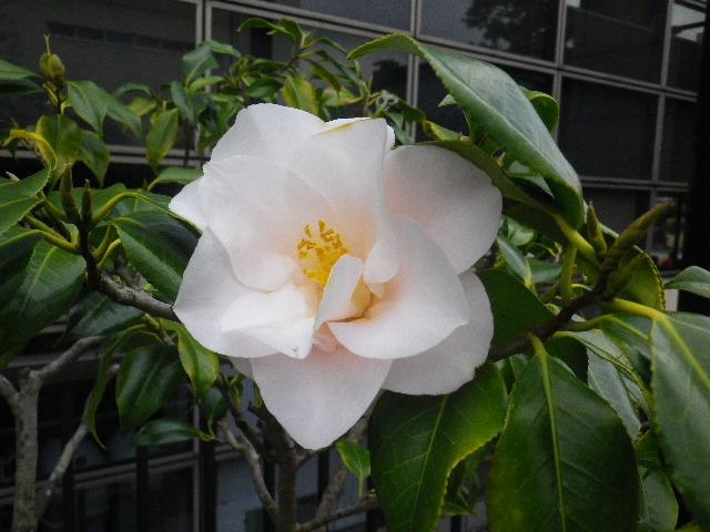 21-3) ハゴロモ  _ 16.03.12 鎌倉「大巧寺」種類豊富な椿が咲き揃い始める頃