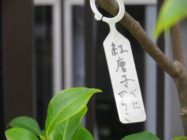 23-1) 紅唐子/べにからこ  _ 16.03.12 鎌倉「大巧寺」種類豊富な椿が咲き揃い始める頃