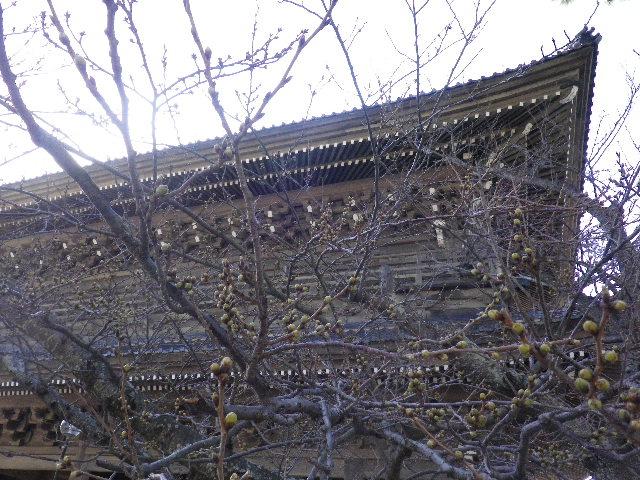 01)  16.03.21 鎌倉「光明寺」開花寸前、桜の蕾。