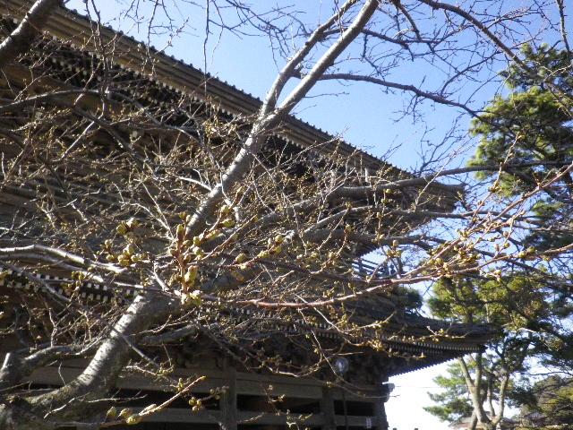 02)  16.03.21 鎌倉「光明寺」開花寸前、桜の蕾。