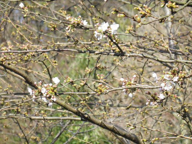04-2)  16.03.21 鎌倉「光明寺」開花寸前、桜の蕾。