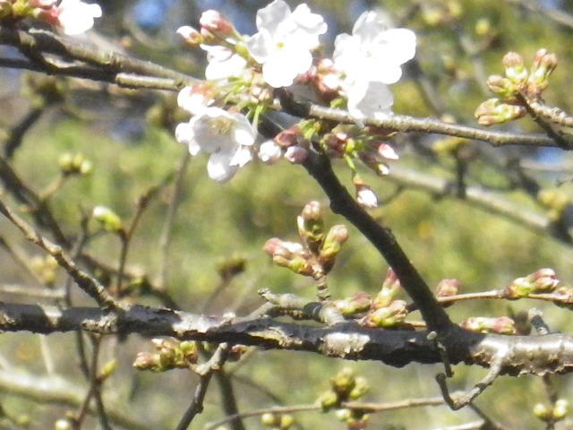 04-3)  16.03.21 鎌倉「光明寺」開花寸前、桜の蕾。