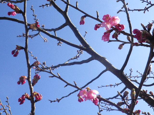 05-2)  16.03.21 鎌倉「光明寺」開花寸前、桜の蕾。