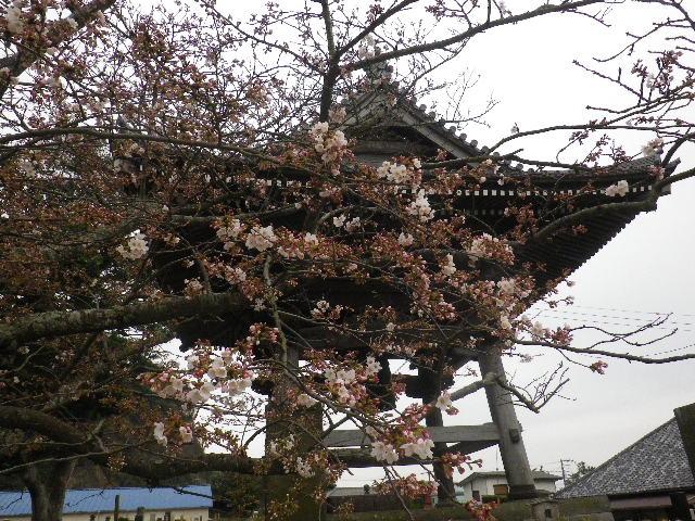 05-2) 鐘楼周辺 _ 16.03.30 鎌倉「光明寺」五分咲きで、散りそうなのをハラハラせずに観桜を楽しむ頃。