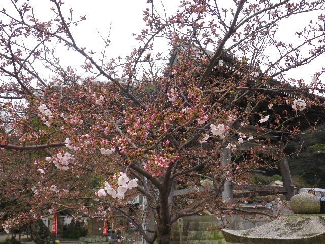 05-3) 鐘楼周辺 _ 16.03.30 鎌倉「光明寺」五分咲きで、散りそうなのをハラハラせずに観桜を楽しむ頃。
