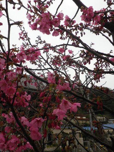 06-1) 塔頭「蓮乗院」境界塀周辺の、早咲き種の桜。 河津桜か? _ 16.03.30 鎌倉「光明寺」五分咲きで、散りそうなのをハラハラせずに観桜を楽しむ頃。
