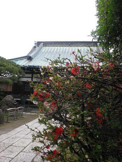 02) 16.03.30 鎌倉「九品寺」木瓜の花