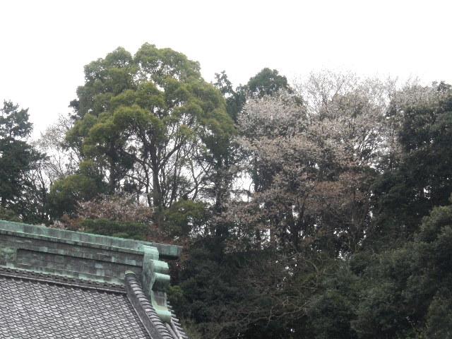 02-1) ' 祖師堂 ' 裏山(=祇園山ハイキングコース)のヤマザクラ _ 16.03.30 鎌倉「妙本寺」の桜。 早!海棠も咲いている。