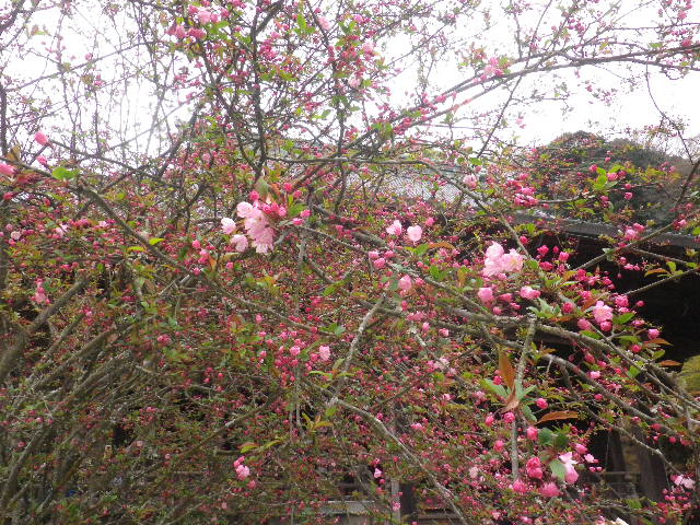 04-2) ' 祖師堂 ' 前の海棠 _  _ 16.03.30 鎌倉「妙本寺」の桜。 早!海棠も咲いている。