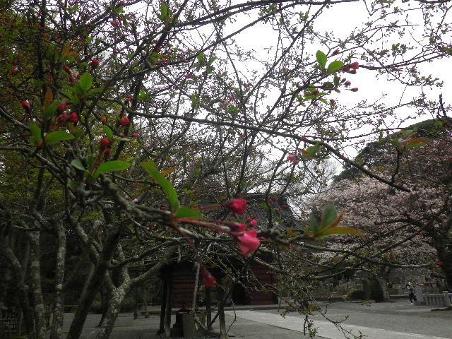 05) 目立たぬ場所で咲く真っ赤な、たぶん・・・海棠。 _ 16.03.30 鎌倉「妙本寺」の桜。 早!海棠も咲いている。