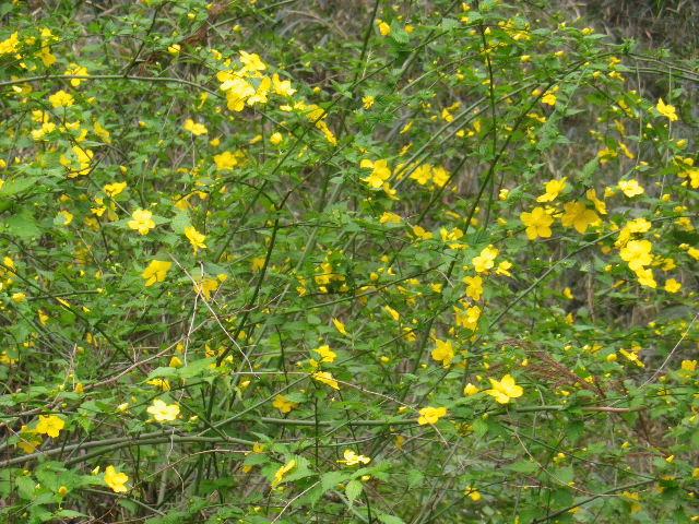 06-2) 杉木立に群生する、他所庭園で頻繁に見る花 ・・・ ・・・ ・・・ ・・・ でも 名を覚えようとしないので、写真整理時のキャプションが書けない。 _ 16.03.30 鎌倉「妙本寺」の