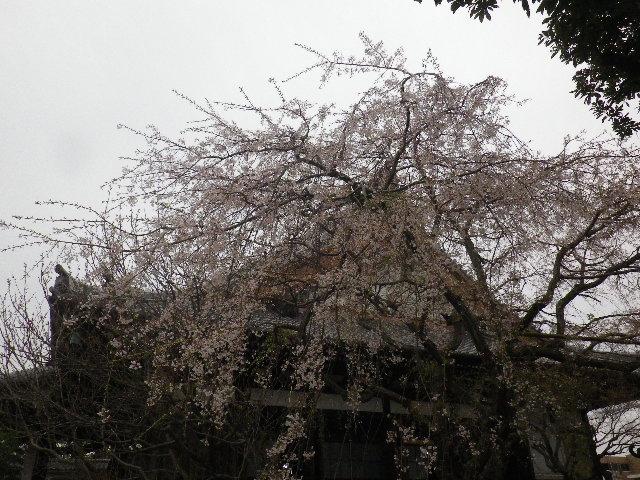 01-1) ' 本堂 ' 右側面方向 _ 16.03.30 鎌倉「本覚寺」の枝垂れ桜