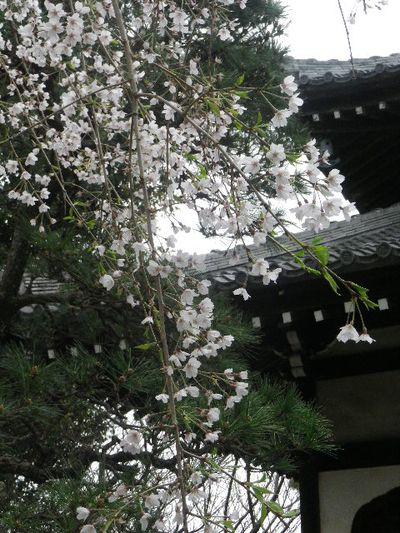 02-2) ' 日蓮御分骨堂 ' 方向 _ 16.03.30 鎌倉「本覚寺」の枝垂れ桜