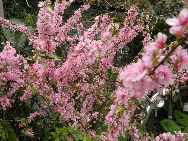 """03) 隣家の方が「小米桜(こごめさくら)」と教えてくれた。調べたら、"""" ユキヤナギ """" の別名で、桜では ' ないらしい '。画像では白い花もあり草花に見えるのも有って、ああ コレ"""