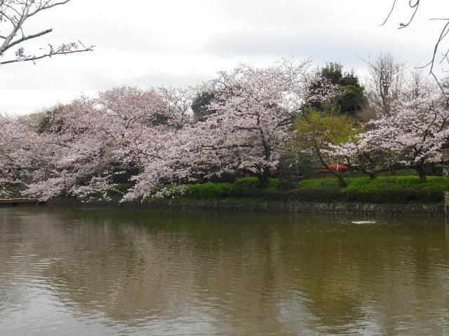 16) 源氏池周囲の桜 _ 16.04.02 鎌倉「鶴岡八幡宮」桜満開の頃