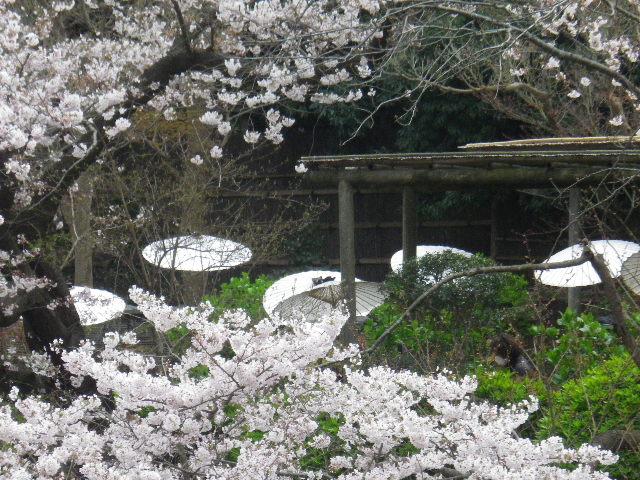 18) 源氏池周囲の桜 _ 16.04.02 鎌倉「鶴岡八幡宮」桜満開の頃