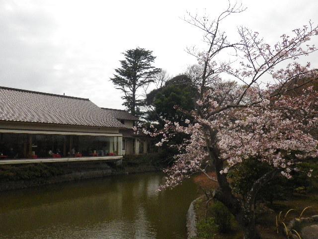 21) 平家池側中之島の桜 _ 16.04.02 鎌倉「鶴岡八幡宮」桜満開の頃