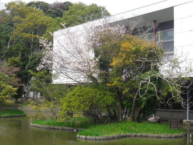 22) 平家池側中之島の桜 _ 16.04.02 鎌倉「鶴岡八幡宮」桜満開の頃
