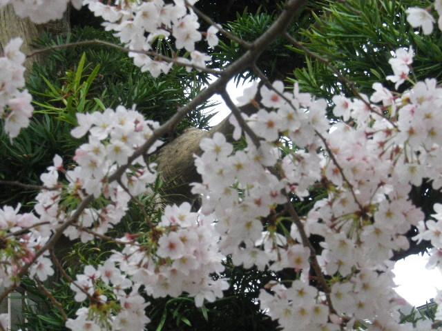 02-2) 石柱周辺のソメイヨシノ _ 16.04.02 鎌倉「向福寺」桜の花と桃の花