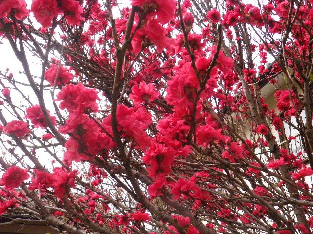 04-2) ハナモモ _ 備考:既に散ってしまったとのことで撮らなかったけど、ハナモモの奥には ' オカメザクラ ' という樹がある。 _ 16.04.02 鎌倉「向福寺」桜の花と桃の花