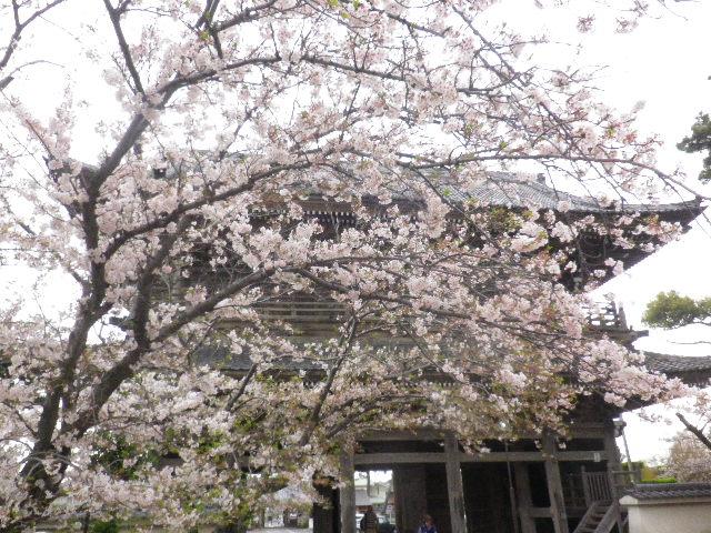 03) 山門を潜ってからの境内から _ 16.04.08 鎌倉「光明寺」前日の風雨に耐え、文字通り灌仏会に花を添えた桜の老木。