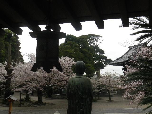 15) 善導大師像背後の渡り廊下から _ 16.04.08 鎌倉「光明寺」前日の風雨に耐え、文字通り灌仏会に花を添えた桜の老木。