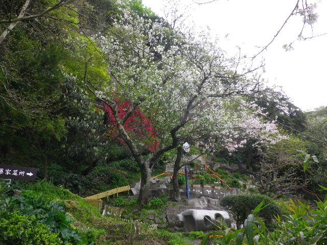 03-1)   16.04.08 或る幼稚園の塀越しに見た桜。赤いのは緋桃の花か? _ 鎌倉市材木座