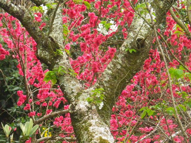 03-2)   16.04.08 或る幼稚園の塀越しに見た桜。赤いのは緋桃の花か? _ 鎌倉市材木座