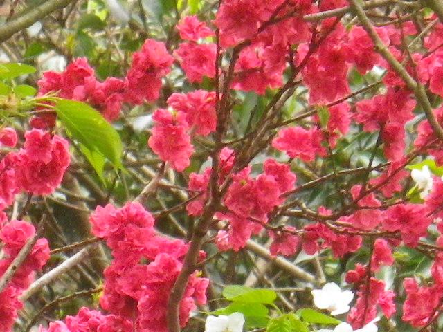 03-3)   16.04.08 或る幼稚園の塀越しに見た桜。赤いのは緋桃の花か? _ 鎌倉市材木座