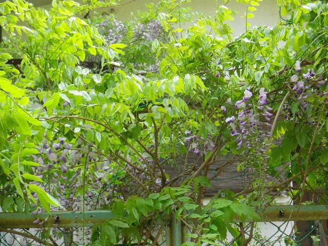 04-1) 16.04.16 藤が咲いた  _ 地平線が丸く見えるほど広大敷地の某邸宅