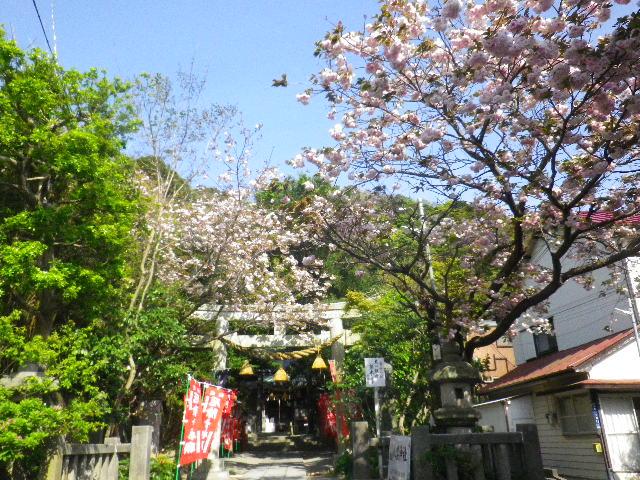 01) 16.04.20 鎌倉大町「八雲神社」の八重桜