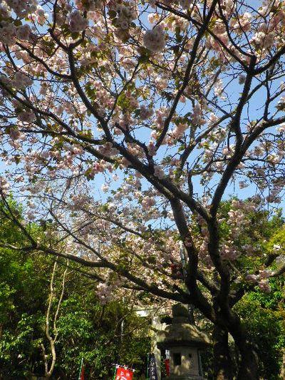 03) 16.04.20 鎌倉大町「八雲神社」の八重桜