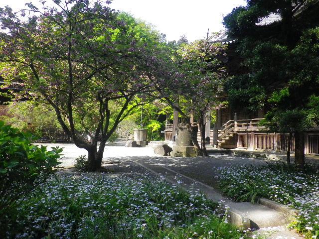 03-1) 比企一族墓所前周辺のシャガ _ 16.04.20 鎌倉「妙本寺」シャガの花と八重桜