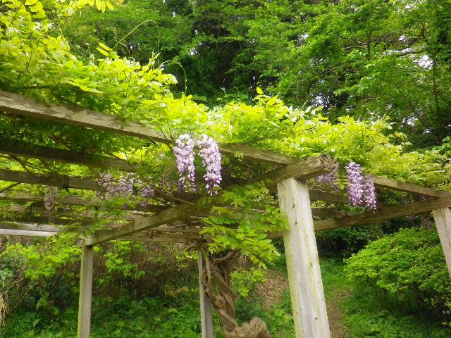 07-1) 16.04.27 葉山「花の木公園」のツツジを観に行った!・・・ ・・・ ・・・ ・・・のだけれども、遥か前に咲き終わって ' 花殻の絨毯 ' ?だった。 アワワワワ 嗚呼