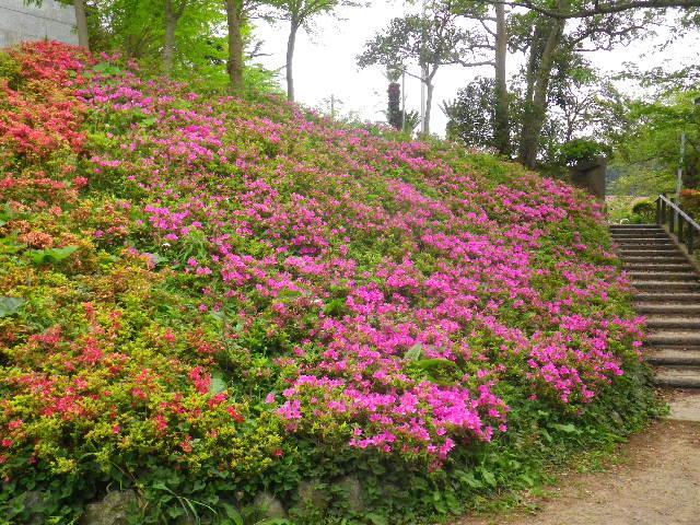 11-1) 16.04.27 葉山「花の木公園」のツツジを観に行った!・・・ ・・・ ・・・ ・・・のだけれども、遥か前に咲き終わって ' 花殻の絨毯 ' ?だった。 アワワワワ 嗚呼
