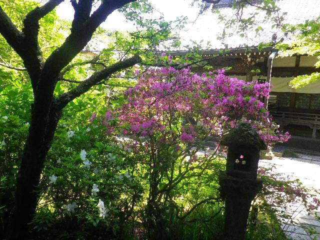 06-3)  _ 16.04.30 晩春の・・・というよりも、立夏直前というべき緑が濃い  鎌倉「安国論寺」。