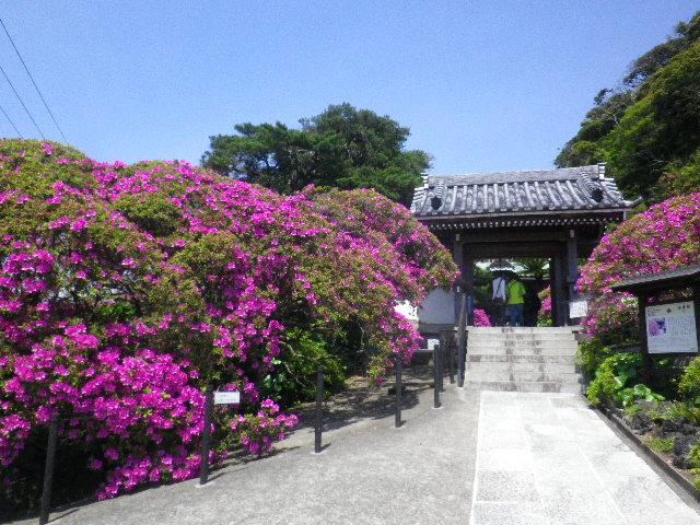 01)   _ 16.04.30 鎌倉「安養院」桃色に染まる頃