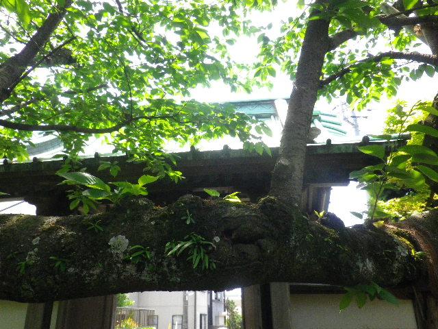 02-1) _ 16.04.30 立夏直前の 鎌倉「教恩寺」