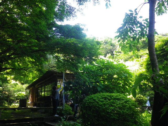 1-01) _ 16.05.05 白藤に蜜蜂が集う時期の、鎌倉「英勝寺」。